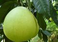 柚苷二氫查爾酮