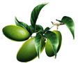 橄欖葉提取物