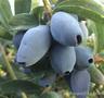藍靛果提取物