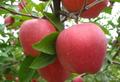 蘋果提取物